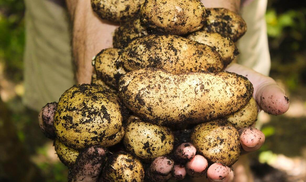 Holding home grown potatoes - making the most of summer veggies
